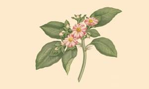 Pereskia Grandifolia (rose cactus, Cactaceae)