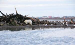 Polar bears on the shores of Barter Island, near the village of Kaktovik, Alaska