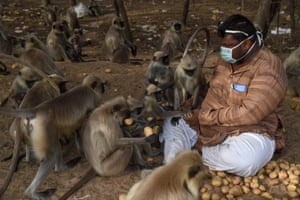 A resident feeds potatoes to monkeys in Ode village