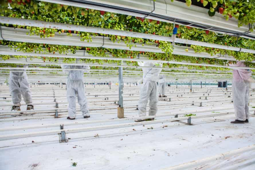 Strawberry farm workers picking