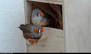 A nesting pair of zebra finches.