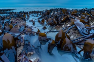 Botanical Britain: Kelp Bed at Dawn (Oarweed), Kingsgate Bay, Kent
