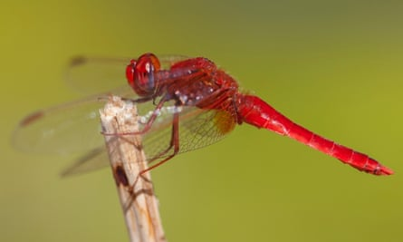 A male scarlet darter - the species was seen in the UK for the first time in 13 years.