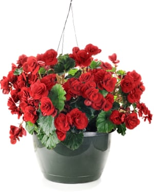 Beautiful begonias: if you have to use pots, choose non-porous vessels.
