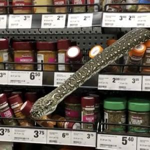 A non-venomous diamond python protrudes from the spice shelf of a grocery shop in Sydney, Australia.