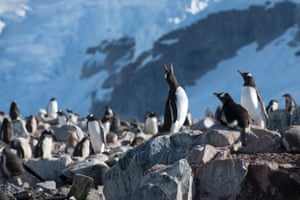 Gentoo penguin colony on Cuverville Island in Errera channel, Antarctic Peninsula