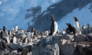 Gentoo penguins in the Antarctic.