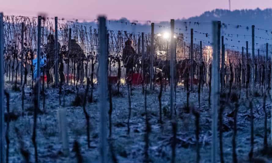 Grape harvesters bringing in the frozen grapes on the Petgen-Dahm wine estate.