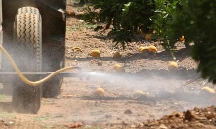 A tractor sprays pesticide over the orange fields in Lindsay, California.