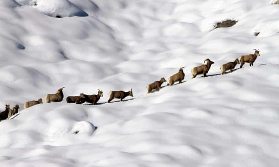 Bighorn sheep are seen on their winter range on Mount Langley near Lone Pine in the Sierra Nevada.