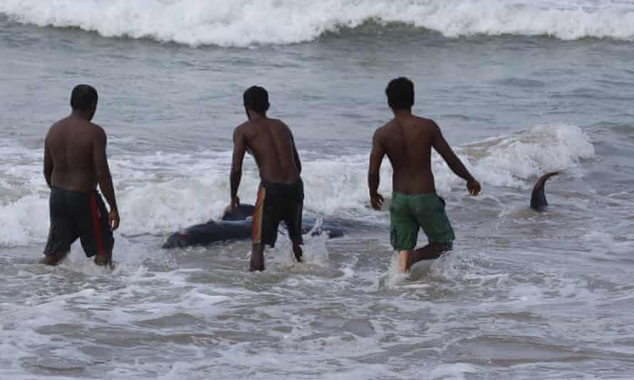 Locals try to push a stranded pilot whale back out to sea in Panadura, Sri Lanka, on 3 November.