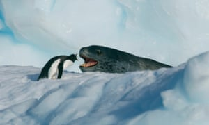 A face-off between a penguin and a giant leopard seal in Seven Worlds, One Planet.