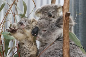 More than fifty hectares of koala habitat will be cleared