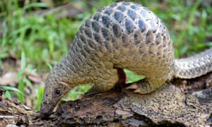 The endangered pangolin