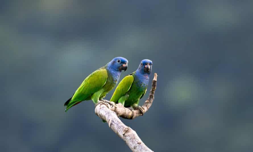 Wild blue-headed parrots in Trinidad.