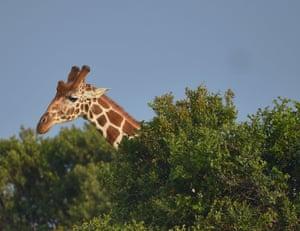 A giraffe peers over trees at the Ol Pejeta conservancy in Laikipia, Kenya