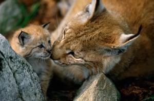 Female Eurasian lynx and kitten.