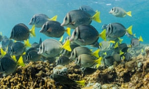 School of yellowtail surgeonfish on the reef off Cabo Pulmo