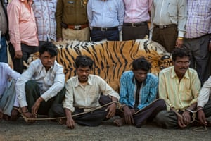 These men were apprehended while trying to sell a tiger skin near Chandrapur, Maharashtra, caught with help from local informants who participated in an anti-poaching program set up by the Wildlife Protection Society of India