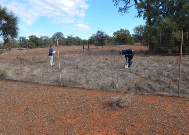 Research in a kangaroo exclosure on Yathong nature reserve. Photograph: Mike Letnic