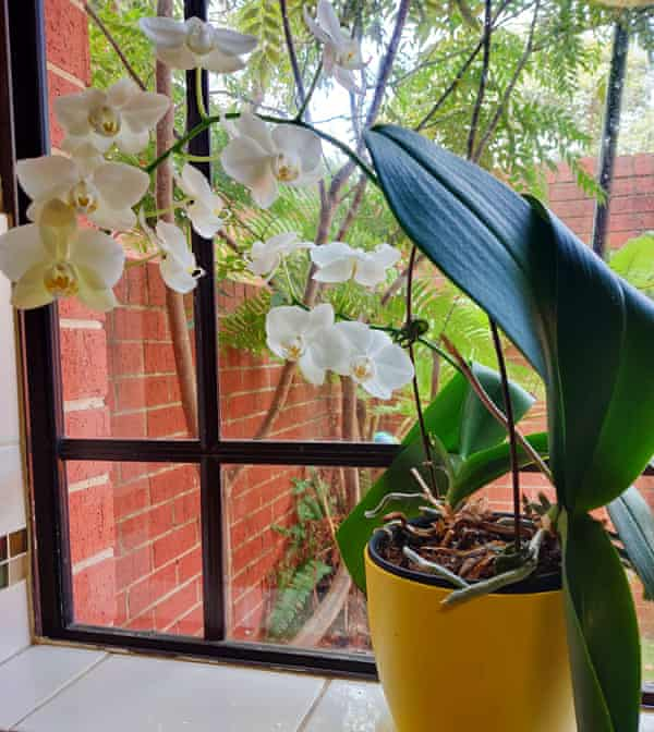 Seetha Dodd's orchid in bloom