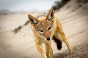 The black-backed jackal's desert survival tricks include gaining water from licking fog and eating fruit.