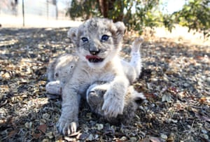 The world's first lion cubs born through artificial insemination, Victor and Isabel, play at the Ukutula private game conservation centre in South Africa