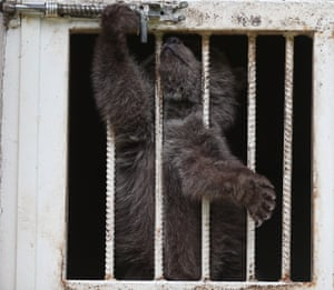 A baby bear in Bursa, Turkey