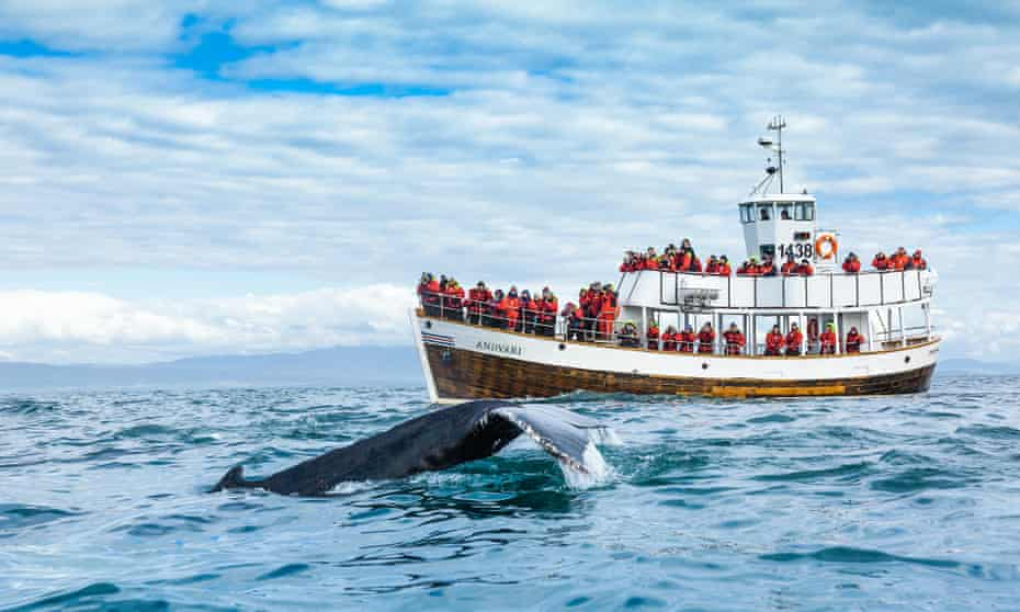 Whale-watching on the Andvari tour boat, operated by North Sailing.