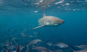 """Great white shark swimming just under the surface amongst a school of trevally jacks, Neptune Islands, South Australia."""