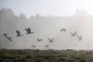 Geese flying in early morning mist in Sundridge, England