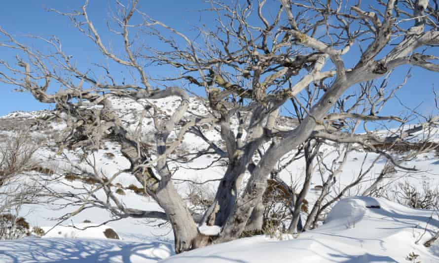 a leafless tree grows out of the snow in Perisher