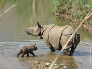 A newborn rhino heralds Nepal's rhino translocation success in Babai valley in Bardia national park.