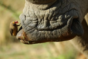 A red-billed oxpecker cleans a white rhino in the Pilanesberg national park, South Africa