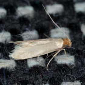 A common clothes moth