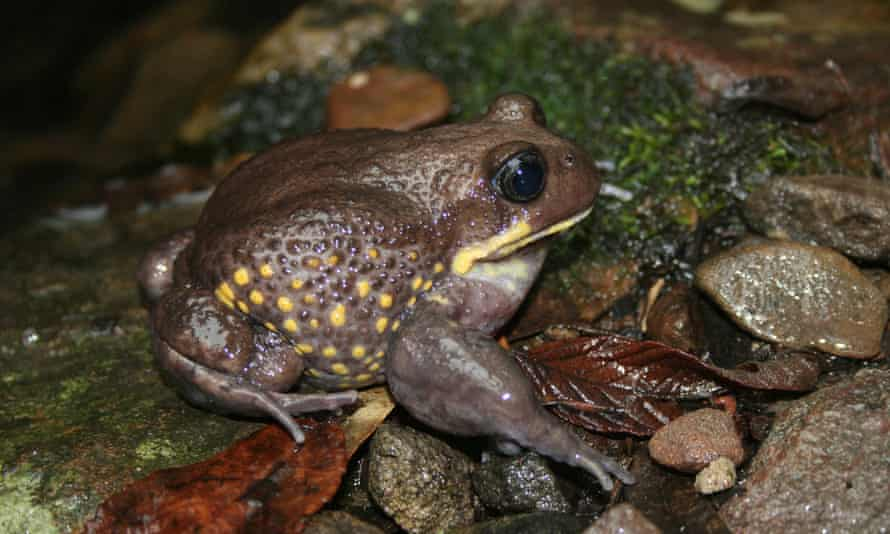 Giant burrowing frog sitting on some wet leaves and rocks