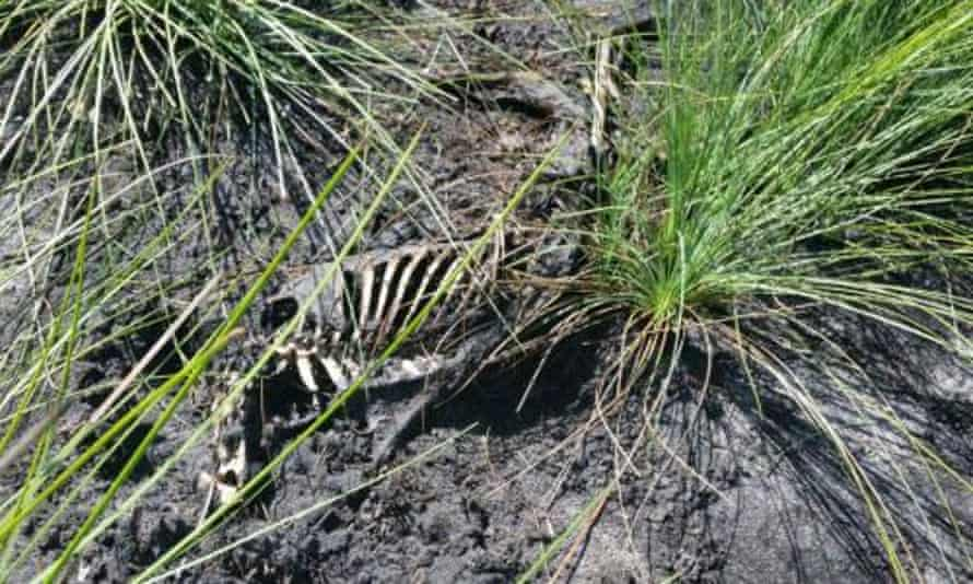 Greyhound remains at the beachside reserve near Bundaberg, where at least 55 carcasses were found dumped.