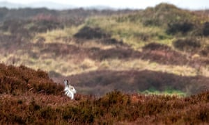 A mountain hare in white winter fur in the Peak District.
