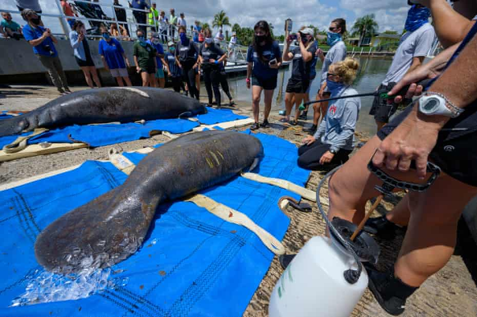 Animal care specialists use ice and spray bottles of water to cool down a mother manatee and her calf as they await being released back into the wild.