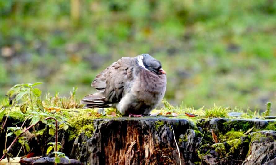 A wood pigeon