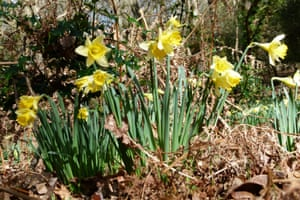 New Forest wild daffodils
