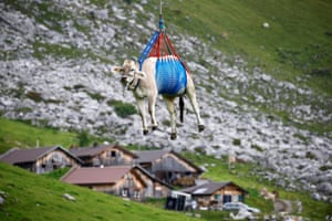 A cow is transported by a helicopter after its summer sojourn in the high Swiss Alpine meadows near the Klausen pass, Switzerland