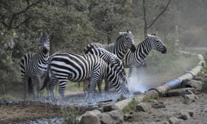 Zebras gather at a pipe carrying water.