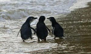 A trio of penguins stroll a beach in Sydney's eastern suburbs.