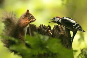 A red squirrel and a woodpecker having an 'argument' over some nuts in a woodland near Lockerbie, Dumfries and Galloway