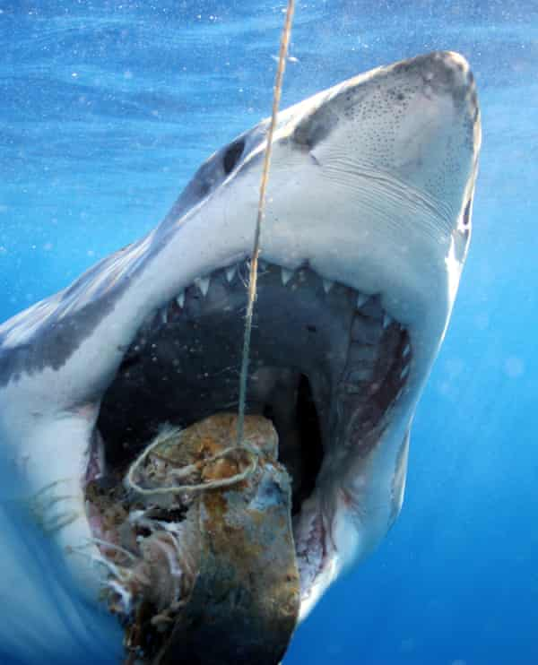 Great white shark feeding, for cage diving tourists.