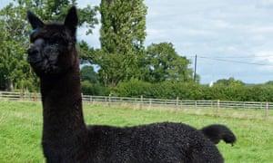 Helen Macdonald's stud alpaca, Geronimo.