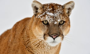 Probate avoid a final rip off when sorting out your loved ones cougar kills one mountain biker and injures another in washington state solutioingenieria Image collections
