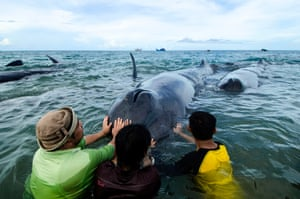 Rescuers try to push a sperm whale back into the sea – one of nine stranded on Ujong Kareung Beach, in Aceh, Indonesia