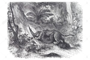 An engraving of a jaguar preying on a giant anteater – or perhaps this is an image of the legendary death-embrace between the two endangered foes.